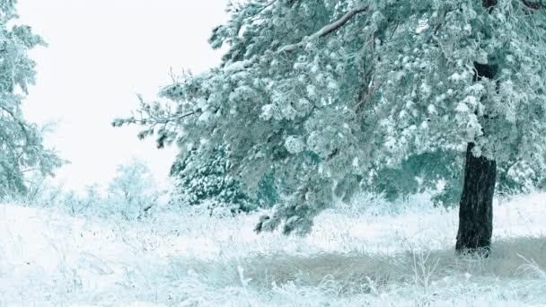 Weihnachtsbaum. Schneelandschaft im Winter im Wald. Baumweihnacht-Bewegung Steadicam. Es schneit ein Schneesturm Wald Lebensstil im Winter von Schnee bedeckt. Winter Hintergrund des Schnees