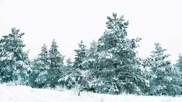 Weihnachtsbaum. Schneelandschaft im Winter im Wald. Baumweihnacht-Bewegung Steadicam. es schneit ein Schneesturm Wald im Winter von Schnee bedeckt. Winter Hintergrund der schneebedeckten Tanne