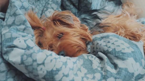 Trauriger Hund schläft. etwas traurig zottelig schläft der Hund krank im Bett. kranker Hund Haustier Lebensstil