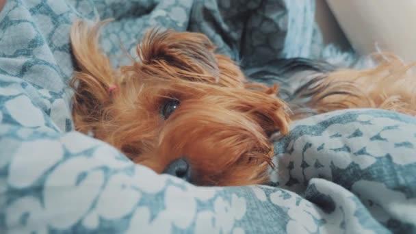 smutný pes spí. trochu smutné, že huňatý pes spí nemocný v posteli životního stylu. nemocný pes domácí koncept
