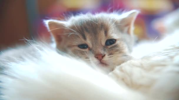 little funny white cute cute kitten sleeping is sitting bed on a checkered blanket sunshine morning. cat and kitten lifestyle pet concept