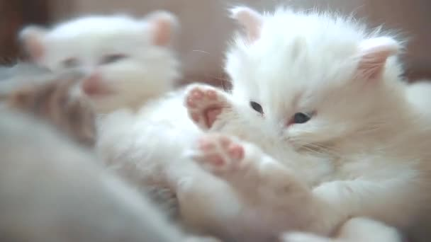 funny video whites two cats kittens playing are sleeping on lying on bed. two kittens are fighting with indoors . cat lifestyle and kittens cats pet concept