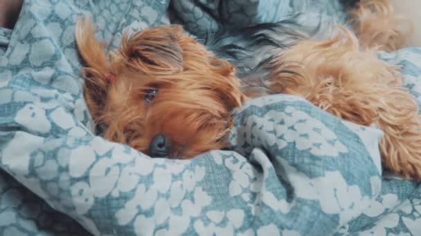 smutný pes spí. trochu smutné, že huňatý pes spí nemocná v posteli. nemocný pes životní styl domácí koncept