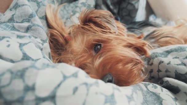 smutný pes spí. trochu smutné, že huňatý pes spí nemocný v posteli životní styl. nemocný pes domácí koncept