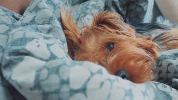 smutný pes spí. trochu smutné, že huňatý pes spí nemocná v posteli. nemocný životní styl psa pet koncept