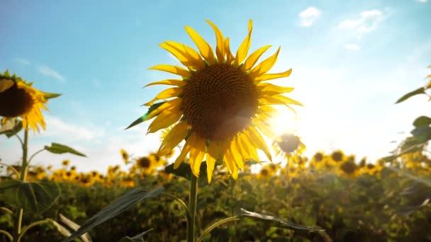 krásné Slunečnice Helianthus pole žlutých květin na pozadí modré oblohy krajiny. zpomalené video. životní styl spousta slunečnice - velké oblasti zemědělství. sběr biomasy oleje