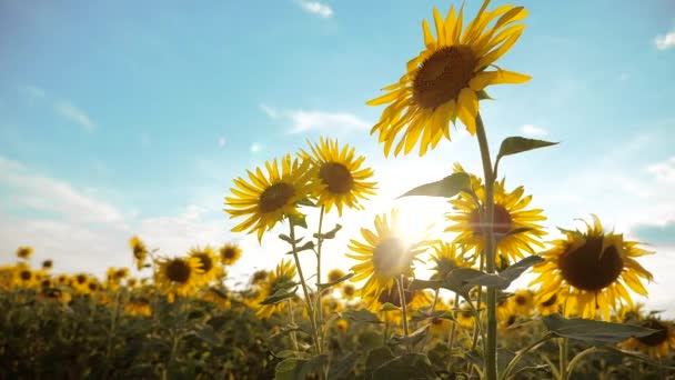 beautiful sunflower Helianthus lifestyle field of yellow flowers on a background of blue sky landscape. slow motion video. a lot of sunflower - a large field of agriculture. collection of biomass oil