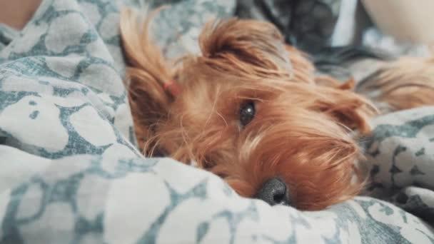 Trauriger Hund schläft. wenig traurig zottelig schläft der Hund krank im Bett. Konzept für kranke Hunde