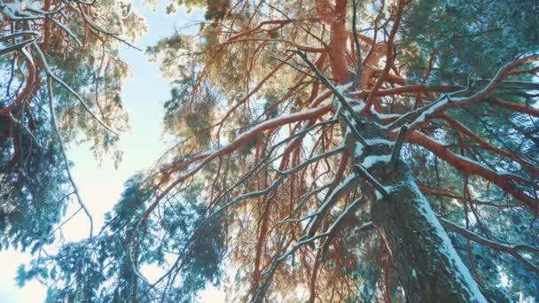 Baum Zweig Sonne blenden feinen Schnee Blendung Winterlandschaft bei Sonnenuntergang. Baumwipfel an einem bewölkten Wintertag. Winterkiefer im Sonnenwald im Schnee Sonnenlicht Bewegung. gefrorener Frost Weihnachten Neujahr Baum