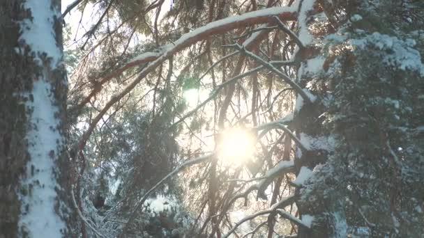 Baumkronen Winter blauer Himmel Kiefer Schnee Zweig Sonnenlicht Blendung Winterlandschaft bei Sonnenuntergang. Baumwipfel an einem bewölkten Wintertag. Winterkiefer im Sonnenwald im Schnee Sonnenlicht Bewegung. Frostbeulen