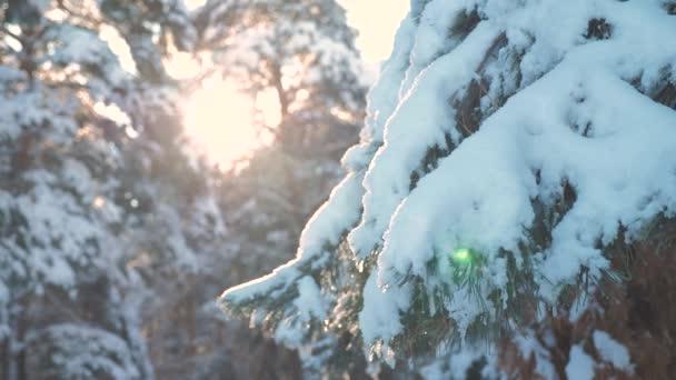 Kiefer Sonnenlicht Zweig blenden Winterlandschaft bei Sonnenuntergang. Winterkiefer im Sonnenwald im Schnee Sonnenlicht Bewegung. gefrorener Frost Weihnachtsbaum Neujahr. Konzept Neujahrswinter. Zeitlupe