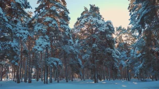 fantastische Winterlandschaft bei Sonnenuntergang. Winterkiefer im Sonnenwald im Schnee Sonnenlicht Bewegung. gefrorener Frost Weihnachtsbaum Neujahr. Konzept Neujahrswinter. Lifestyle-Video in Zeitlupe. Kiefer