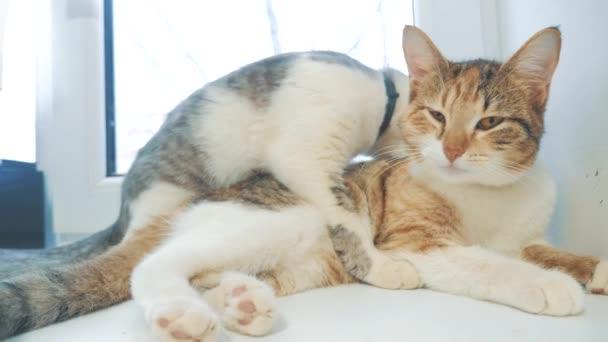 Lustige Videokatze. Katzen lecken sich gegenseitig Kätzchen. Zeitlupenvideo. Katzen pflegen und lecken einander. Lifestyle für Haustiere ein süßes Video