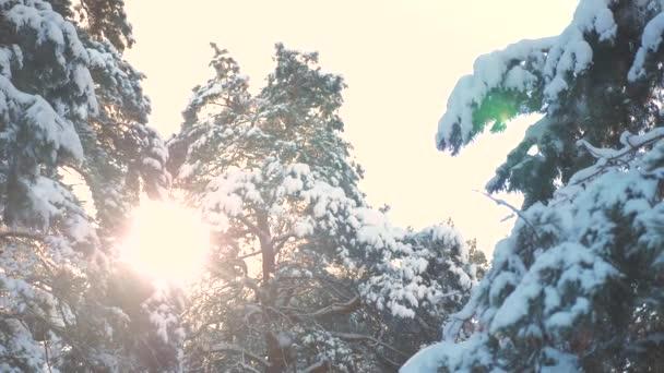 Baumkronen Winter Kiefer Schnee Zweig Sonnenlicht blenden Winterlandschaft bei Sonnenuntergang. Baumwipfel an einem bewölkten Wintertag. Winterkiefer im Sonnenwald im Schnee Sonnenlicht Bewegung. Frostiger Lebensstil