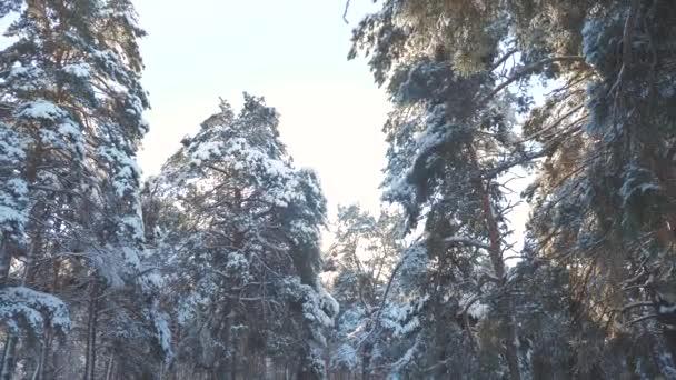 fantastische Winterlandschaft bei Sonnenuntergang. Winterkiefernsonnenwald im Schnee Sonnenlicht Bewegung. gefrorener Frost Weihnachtsbaum Neujahr. Konzept Neujahrswinter. Zeitlupenvideo. Kiefern bedeckt