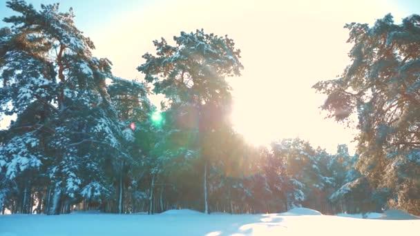Zimní borový les v pohybu slunce sníh. zmrazené mrazem vánoční nový životní styl rok strom. pojem nový rok zima. zpomalené video. Borovicemi pokryté sněhem. Kouzelná dovolená krajiny sněhu