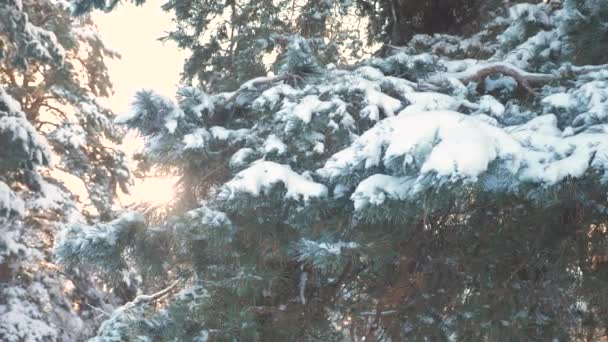 Kiefernzweig Sonnenlicht blendet Winterlandschaft bei Sonnenuntergang. Winterkiefer im Sonnenwald im Schnee Sonnenlicht Bewegung. gefrorener Frost Weihnachtsbaum Neujahr. Konzept Neujahrswinter. Zeitlupe