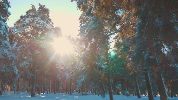 Fantasztikus téli táj, naplemente alatt. téli fenyő a sun erdő a hó napfény mozgalom. fagyott Dér karácsonyi-újévi fa. koncepcióját új év téli. Slow motion videót. Fenyő életmód
