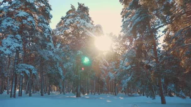 fantastische Winterlandschaft bei Sonnenuntergang. Winterkiefer im Sonnenwald im Schnee Sonnenlicht Bewegung. gefrorener Frost Weihnachtsbaum Neujahr. Lifestyle-Konzept Neujahr Winter. Zeitlupenvideo. Kiefer