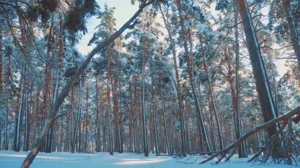 kmeny holé stromy chladný den v zasněžené zimní dolní zobrazení lesní západ slunce v kráse krajiny během slunce. Zimní borovic slunce v pohybu slunce sníh. zmrazené mrazem Vánoce Nový rok