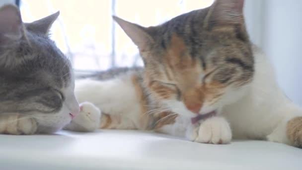 schöne süße Katze leckt seine Pfote auf Fensterbank mit lustigen Emotionen Lebensstil auf Hintergrund des Zimmers. Slow-Motion-video. Katze, die sich selbst reinigen. Erwachsene Katze liegt auf das Fenster und die Pfoten leckt