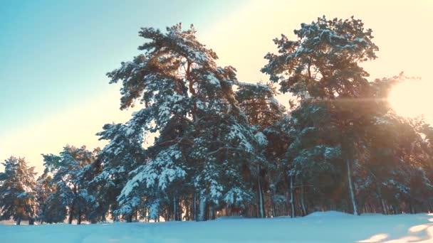 Zimní borový les v pohybu slunce sníh. zmrazené mrazem Vánoce Nový rok strom životního stylu. pojem nový rok zima. zpomalené video. Borovicemi pokryté sněhem. Kouzelná dovolená na šířku