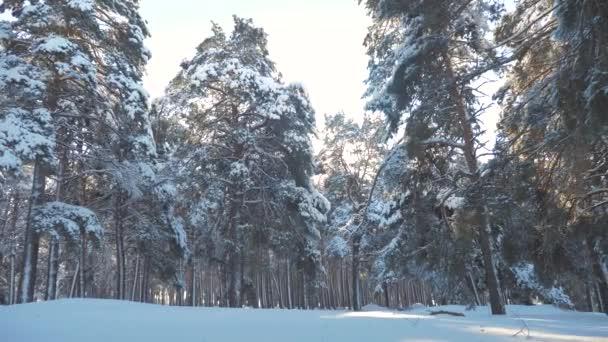 Zimní borovice lesní životní styl slunce v pohybu slunce sníh. zmrazené mrazem novoroční vánoční strom. pojem nový rok zima. zpomalené video. Borovicemi pokryté sněhem. Kouzelná dovolená
