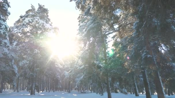 Fantastic winter landscape during sunset. winter pine the sun forest in the snow sunlight movement. frozen frost Christmas New Year tree. concept new year winter . slow motion video. Pine trees