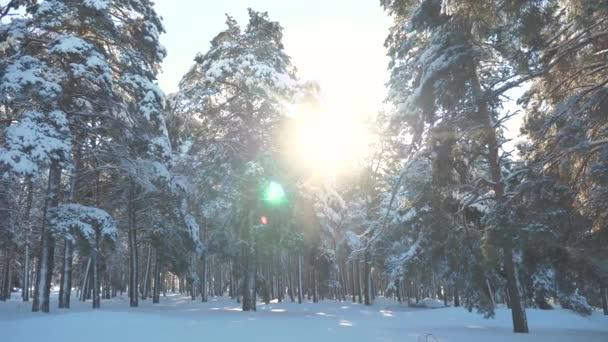 Fantastická zimní krajina při západu slunce. Zimní borovice lesní slunce v pohybu slunce sníh. zmrazené mrazem novoroční vánoční strom. koncepce životního stylu novoroční zimní. zpomalené video. Borovice