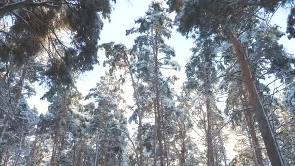 Stämme von kahlen Bäumen kalten Tag im verschneiten Winter unten Ansicht Wald Sonnenuntergang in Schönheit Landschaft in der Sonne. Winterkiefernsonnenwald im Schnee Sonnenlicht Bewegung. Frost Weihnachten Neujahr