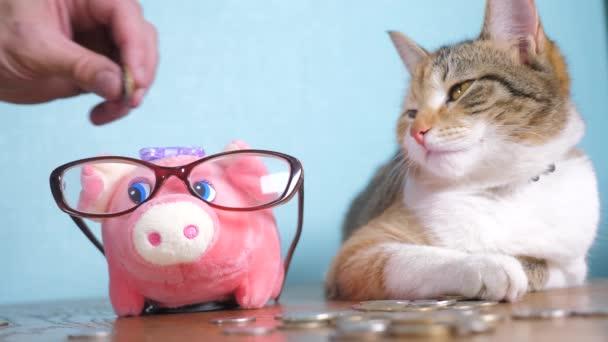 Piggy bank és macska csapatmunka vicces videóinak pénzt koncepció pénzügyi teendő könyvelés. Pénzt macska könyvelő pénzember kisállat halom pénz és malacka bank. kézzel hozza érmék egy malacka bank. Banki megtakarítási