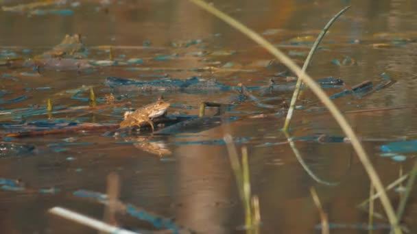 A Bullfrog ül egy mocsárban várakozott. A tó életmódot zöld béka