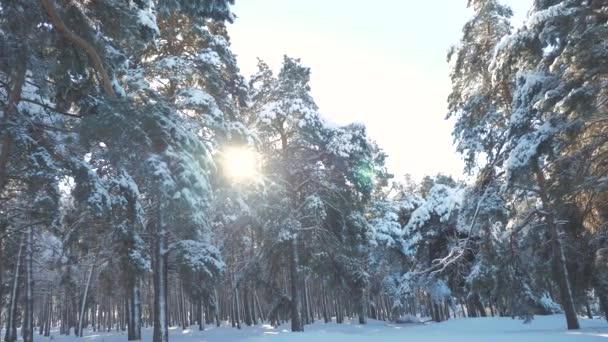 Zimní borovice lesní slunce v hnutí životní styl slunce sníh. zmrazené mrazem novoroční vánoční strom. pojem nový rok zima. zpomalené video. Borovicemi pokryté sněhem. Kouzelná dovolená