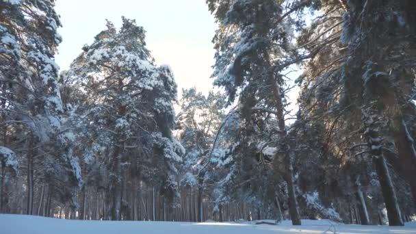 fantastische Winterlandschaft bei Sonnenuntergang. Winterkiefer im Sonnenwald im Schnee Sonnenlicht Bewegung. gefrorener Frost Weihnachtsbaum Neujahr. Konzept Neujahrswinter. Zeitlupenvideo. Kiefern
