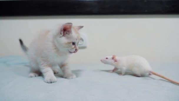 kleines weißes Kätzchen spielen jagt eine Ratte Maus. lustige seltene video kleine Katze und eine Ratte laufen auf dem Bett. Katze und Lifestyle Maus Konzept Haustiere