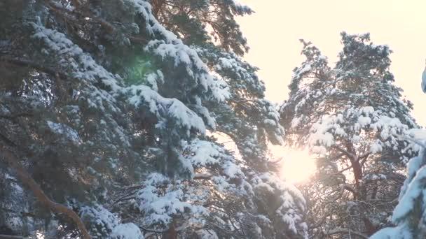 Baumkronen Winter Kiefer Schnee Zweig Sonnenlicht blenden Winterlandschaft bei Sonnenuntergang. Baumwipfel an einem bewölkten Wintertag. Winterkiefer im Sonnenwald im Schnee Sonnenlicht Bewegung. Frostweihnachten neu