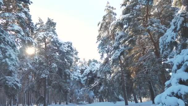 Zimní lesní Les, který se ve svém životním stylu smršuje na slunci. mrazený mráz nový strom roku. koncept nového roku v zimě. video s pomalým pohybem. Borovice pokryté sněhem. Kouzelný svátek
