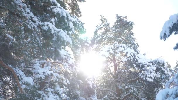 Winter Baumkronen Kiefer Schnee Zweig Sonnenlicht blenden Winterlandschaft bei Sonnenuntergang. Baumwipfel an einem bewölkten Wintertag. Winterkiefer im Sonnenwald im Schnee Sonnenlicht Bewegung. Frostweihnachten neu