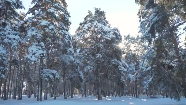 Fantastická zimní krajina při západu slunce. Zimní borovice lesní slunce v pohybu slunce sníh. zmrazené mrazem novoroční vánoční strom. pojem nový rok zima. zpomalené video. Borovice