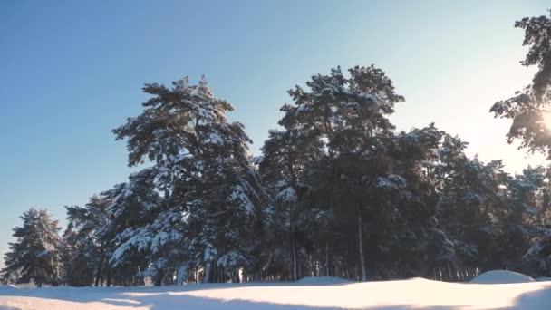 zimní les borovicemi v pohybu sněhu na slunci. mrazený mráz nový strom roku. koncept nového roku v zimě. životní styl pomalý pohyb videa. Borovice pokryté sněhem. Kouzelný svátek