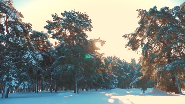 zimní borový les ve sněhovém slunečním svitu. mražený mráz vánoční stromek. koncept Nový rok životní styl zimy. zpomalené video. Borovice pokryté sněhem. Kouzelná dovolená krajina sníh