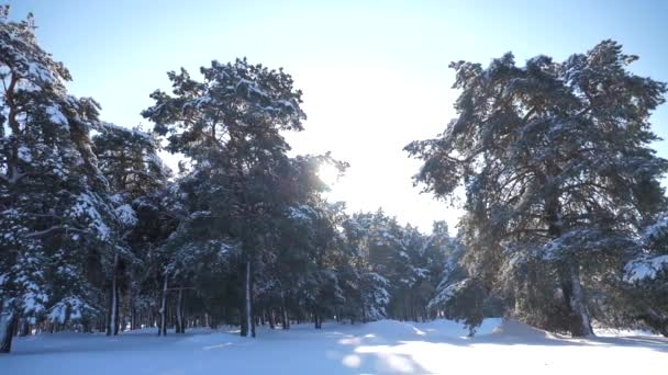 Frozen winter forest with snow covered trees. slow motion video. winter pine forest in the snow sunlight movement. lifestyle frozen frost Christmas New Year tree. concept new year winter. Pine trees