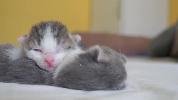 Vicces videó két háziállat aranyos újszülött cica alvás csapatmunka az ágyon. pets fogalom pets fogalom. kis PET macskák csíkos aludni életmód barátság és a szeretet fehér háttér