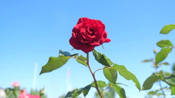 růžovou květinu proti modrému nebi. Příroda květina se zeleným listím krásný květ životní styl