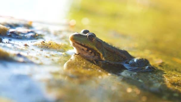 Grüner Frosch im Teich in einem Sumpf. rana esculenta. Frosch auf die Natur in Lifestyle-Wasser. Tierisch wildes Konzept