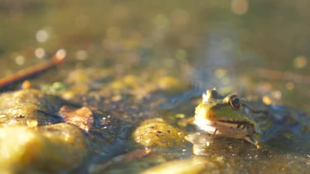 green frog in the pond in a lifestyle swamp. Rana Esculenta. frog on nature in water. animal wild concept