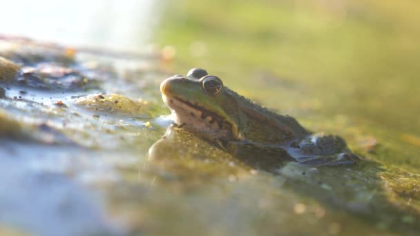 green frog in the pond in a swamp. Rana Esculenta . frog on nature in water. lifestyle animal wild concept