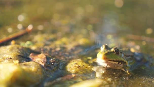 Grüner Frosch im Teich im sumpfigen Lebensstil. rana esculenta. Frosch auf der Natur im Wasser. Tierisch wildes Konzept