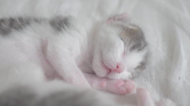 kis aranyos újszülött cica alszik az ágyon. kis cica szippantás és ránkozás egy álom feldobás életmód és a fordulás