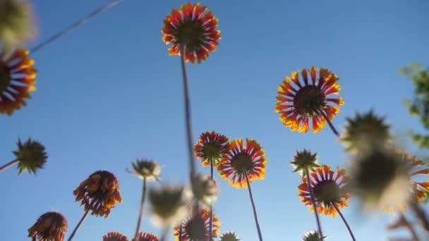 Virág virágok narancsvirág szemben a kék ég természet életmód nézet alulról